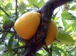 Meyer Lemons, El Cerrito, CA
