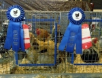 Blue Ribbons chickens
